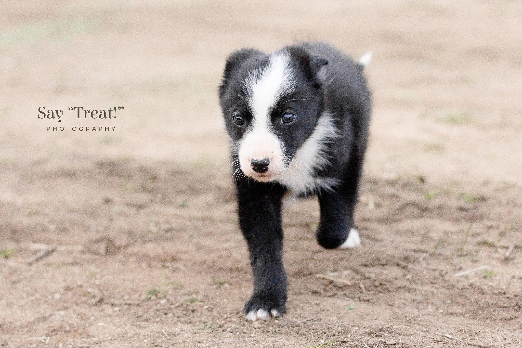 Border Collie Puppy Love